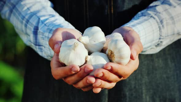 A Man Holds Several Garlic Bulbs