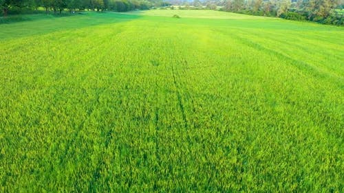 Flying Over a Vibrant Green Agricultural Wheat Field in the Summer