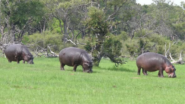 Thumbnail for Three Hippos grazing on a grass field