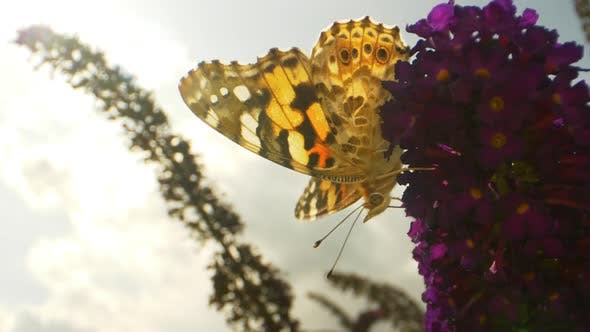 Thumbnail for Closeup Video of A Monarch Butterfly Hanging On Purple Flowers