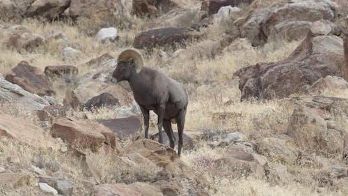 Bighorn sheep ram walking through the desert in Utah