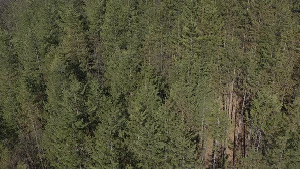 Thumbnail for Forest of coniferous trees 4K drone video