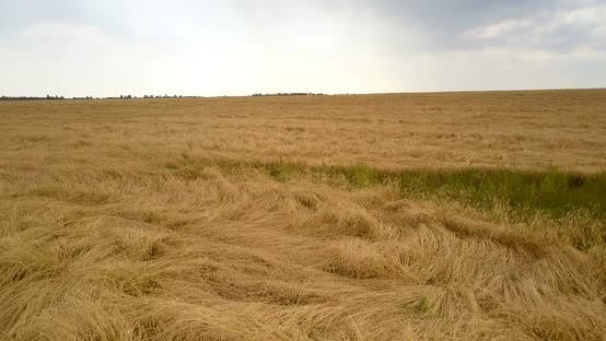 Thumbnail for Bird Eye View Yellow Wheat Field Against Grey Cloudy Sky