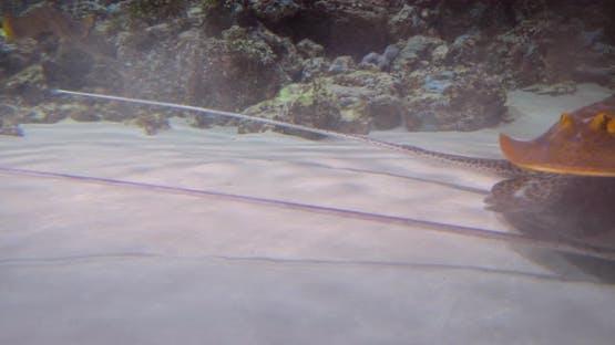 Stingrays Under Water