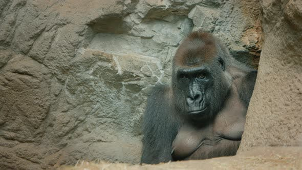 Big Gorilla Sits Among the Stones