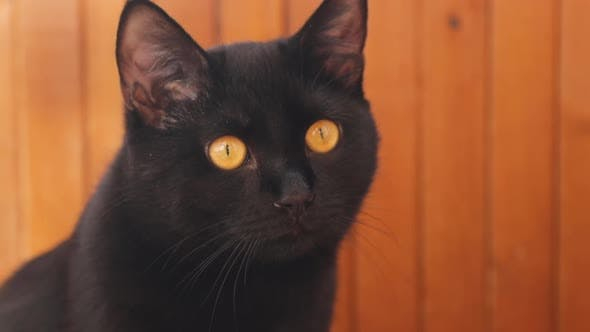 A Black Curious Cat is Watching Somewhere