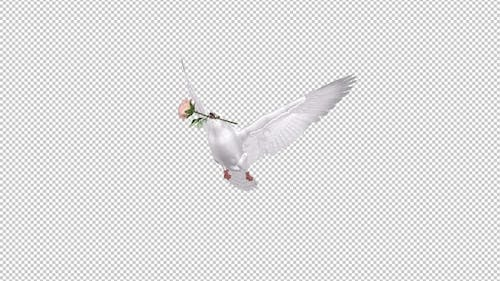 White Dove with Pink Rose - 4K Flying Transition - Alpha Channel