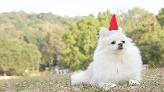 Thumbnail for White Pomeranian dog wearing Santa Claus hat lying on the grass
