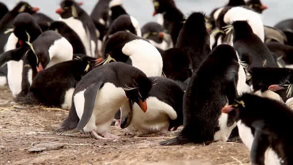 Thumbnail for Rock Hopper Penguins Building A Nest