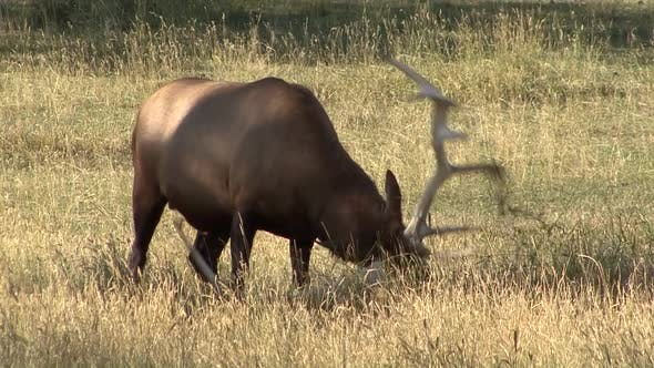 Thumbnail for Elk Bull Adult Lone Breeding in Autumn Pawing Rutting Antlers Tearing Up Vegetation