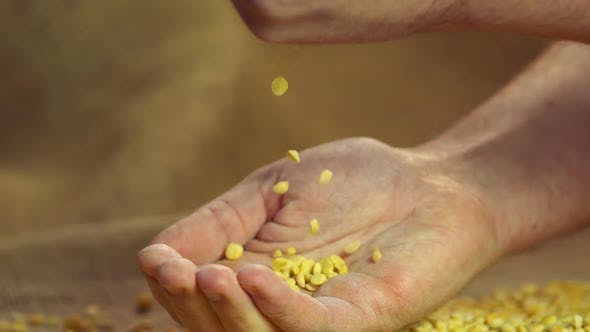 Thumbnail for Select High Quality Dried Split Peas Dropping in Proud Farmer's Hand