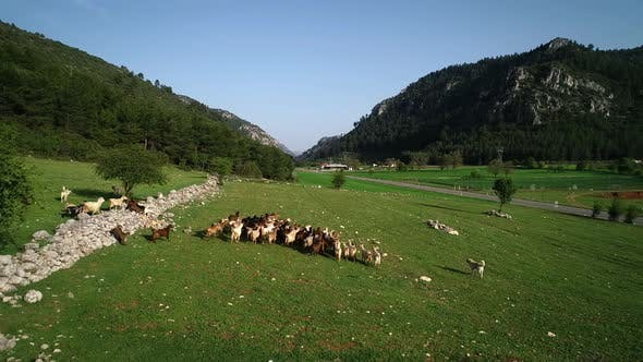Farm Animals Goat