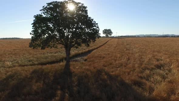 Thumbnail for Aerial shot of oak tree in field