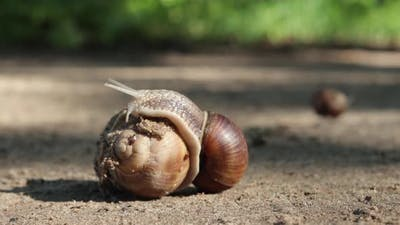 Mating of Grape Snails in Their Natural Habitat