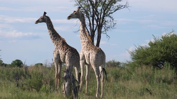 Cover Image for Two giraffes on the savannah
