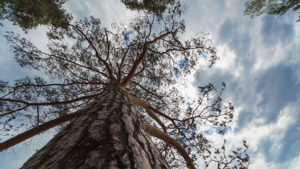 Thumbnail for Pine Tree Time Lapse