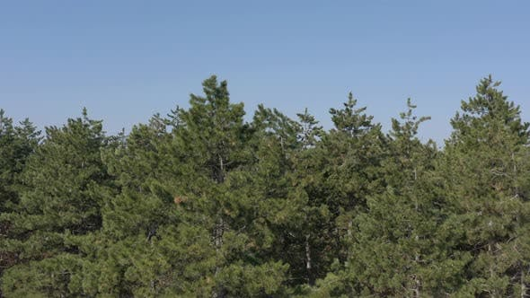 Thumbnail for Coniferous woods under clear blue sky 4K drone video