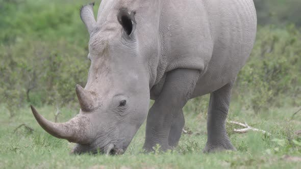 Thumbnail for Close up from a rhino grazing