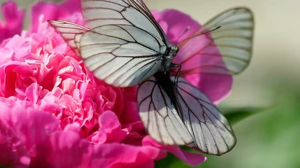 Cover Image for Black Veined White Butterfly