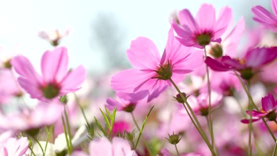 Thumbnail for Pink Cosmos flower park
