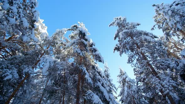Thumbnail for Frosty Winter Landscape in Snowy Forest