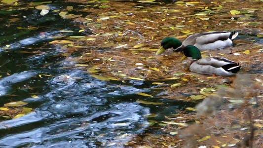 Thumbnail for Ducks And Leaves On The Lake