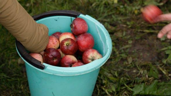 Thumbnail for Gathering Fresh Apples