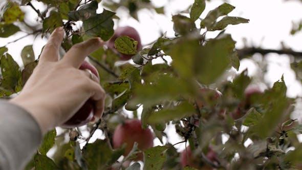 Thumbnail for Gathering Fresh Apples 2