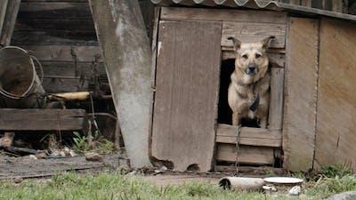 Dog Peeking Out Of the Dog House