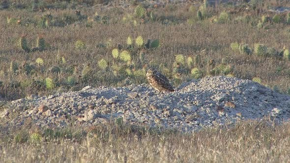 Thumbnail for Burrowing Owl Adult Lone Standing in Summer Mound Cactus in South Dakota