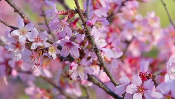 Thumbnail for Cherry Blossom