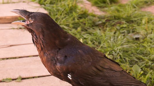 Thumbnail for Bird Raven