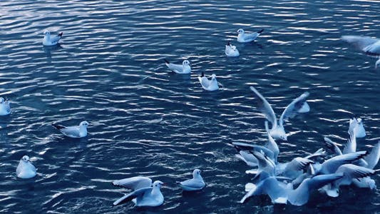 Thumbnail for Seagulls on the Water 2