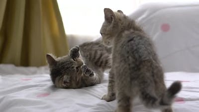 Close Up Two Kitten Playing Fighting Together
