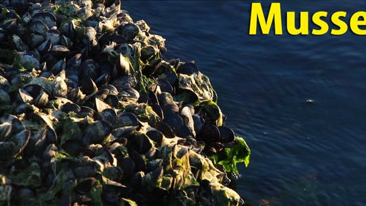 Thumbnail for Mussel