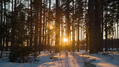 Sunset In A Pine Winter Forest