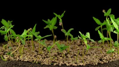 Marijuana Plant Growing