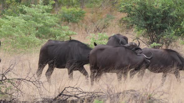 Cover Image for Herd of African buffalos at Bwabwata National Park