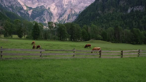 Grassland of Cows on Foot of Alps Mountains
