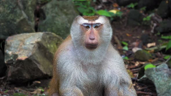 Thumbnail for The Monkey Looks at The Camera and Around. Portrait and Emotions of A Monkey