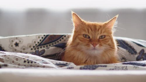 Cute Ginger Cat Lying in Bed Under Blanket. Fluffy Pet Looks Curiously. Cozy Home Background