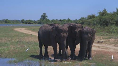 Elephants Splashing Mud in the National Park of Sri Lanka