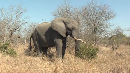 African Elephant Adult Lone Eating Grazing Dry Season Using Trunk Prehensile Grabbing Grass