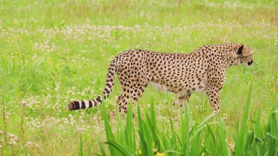 Thumbnail for Cheetah Looking Around While Walking on Field