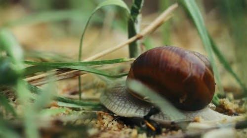 Snail Helix Pomatia Slowly Crawling In Grass