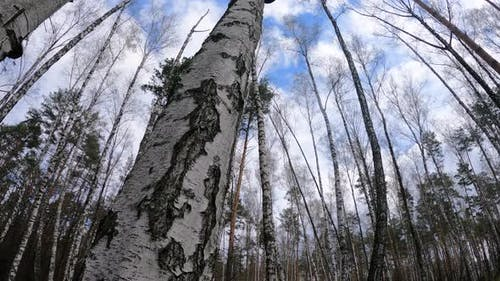 Birch Forest with Birches in the Afternoon