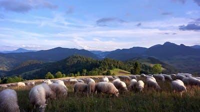Sheep Grazing On Grassy Meadows In Beautiful Mountain Scenery