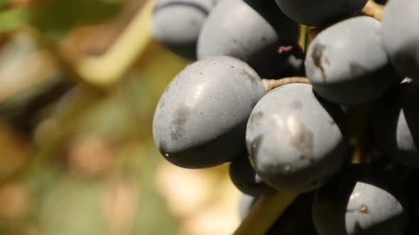 Healthy European Vitis vinifera fruit and golden leaves food slow tilt 2160p 30fps UltraHD footage -