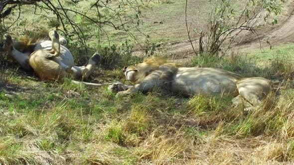 Thumbnail for Male Lions Sleeping in Savannah at Africa