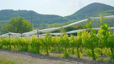 Cultivation of Vineyards in the Italian Hills